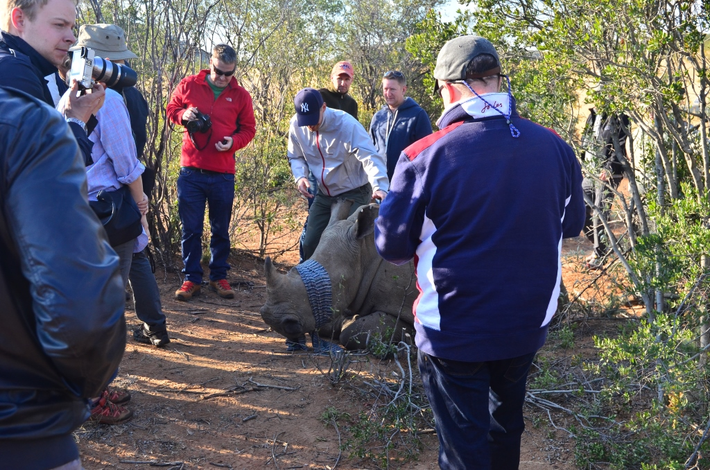 Rhino_being_Notched_in_the_ear_Mankwe_Gametrackers