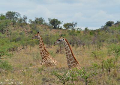 M-and-F-Giraffe
