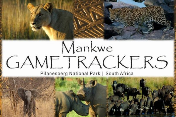 Seen while on Game drive with Mankwe Gametrackers in the Pilanesberg National Park.