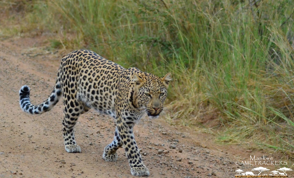 Seen while on game drive with Mankwe GAMETRACKERS.