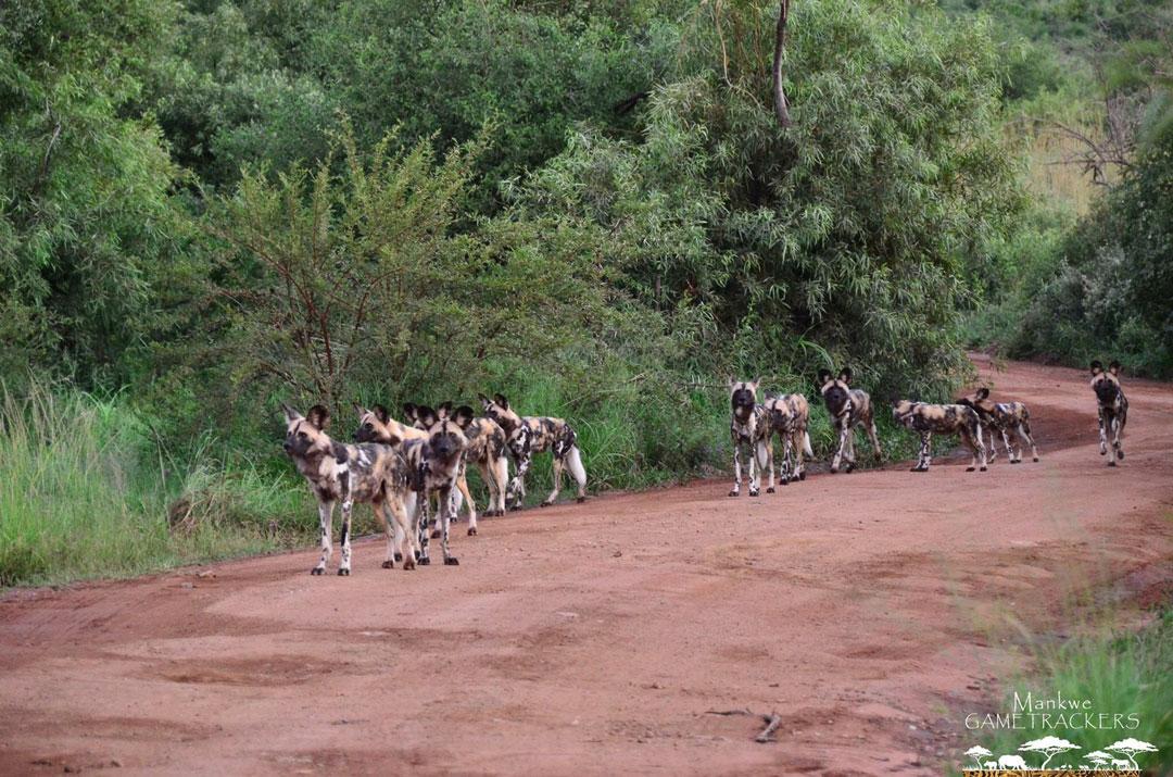 Seen while on Safari with Mankwe GAMETRACKERS