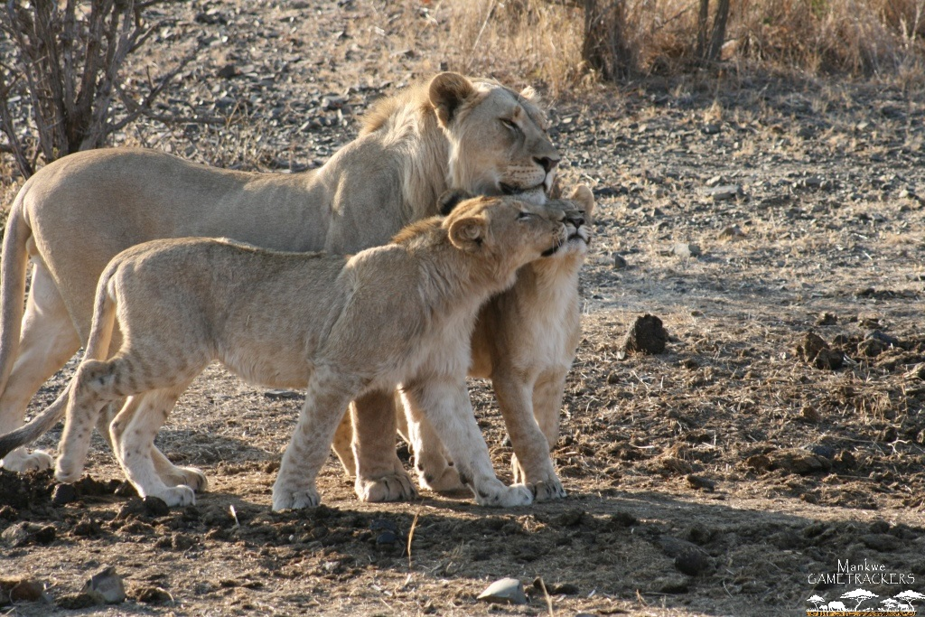 Mankwe GametrackersThings you may not know about Lions - Mankwe