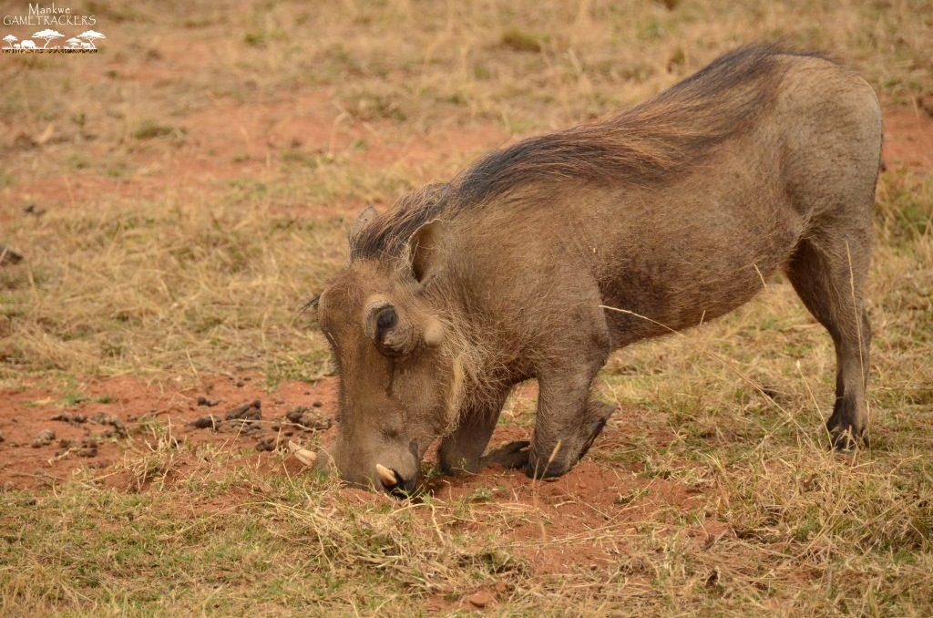 warthog-1024x678