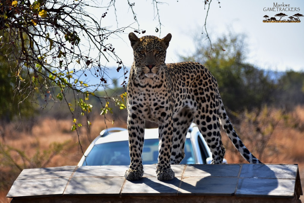 Game-drivesSafaris-South-Africa-Mankwe-Gametrackers-_Pilanesberg-National-Park-13