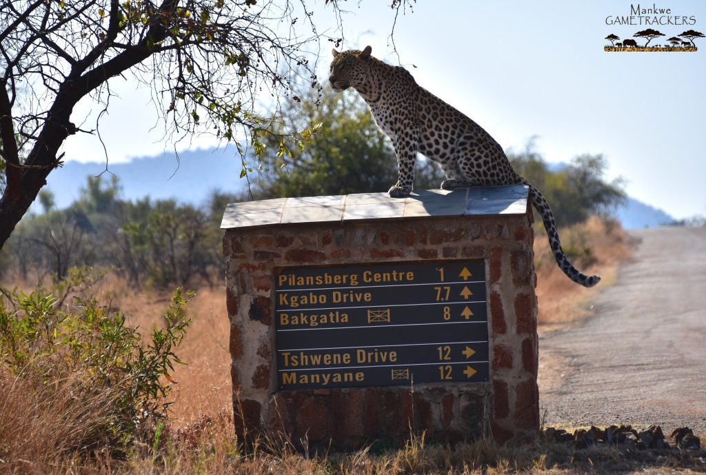 Game-drivesSafaris-South-Africa-Mankwe-Gametrackers-_Pilanesberg-National-Park-6