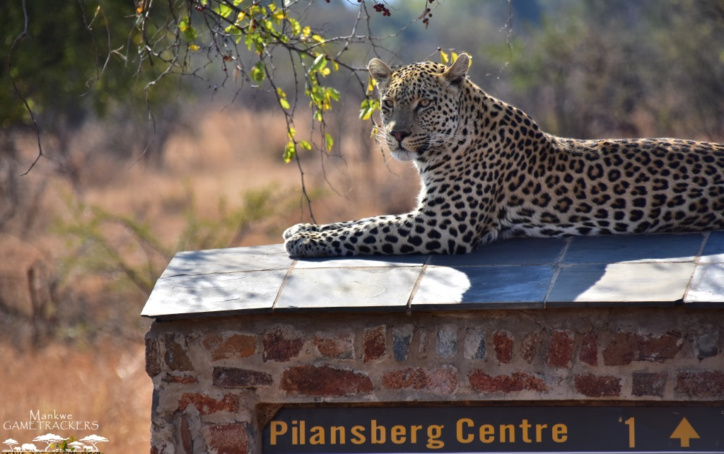 Game-drivesSafaris-South-Africa-Mankwe-Gametrackers-_Pilanesberg-National-Park-7