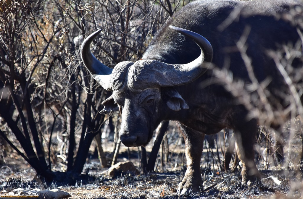 Game-drivesSafaris-South-Africa-Mankwe-Gametrackers-_Pilanesberg-National-Park-North-West-South-Africa-17