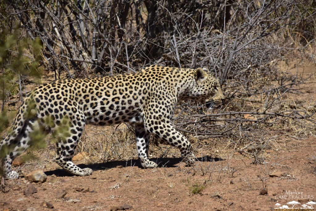 Game-drivesSafaris-South-Africa-Mankwe-Gametrackers-_Pilanesberg-National-Park-North-West-South-Africa-18