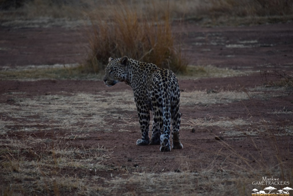 Game-drivesSafaris-South-Africa-Mankwe-Gametrackers-_Pilanesberg-National-Park-North-West-South-Africa-2