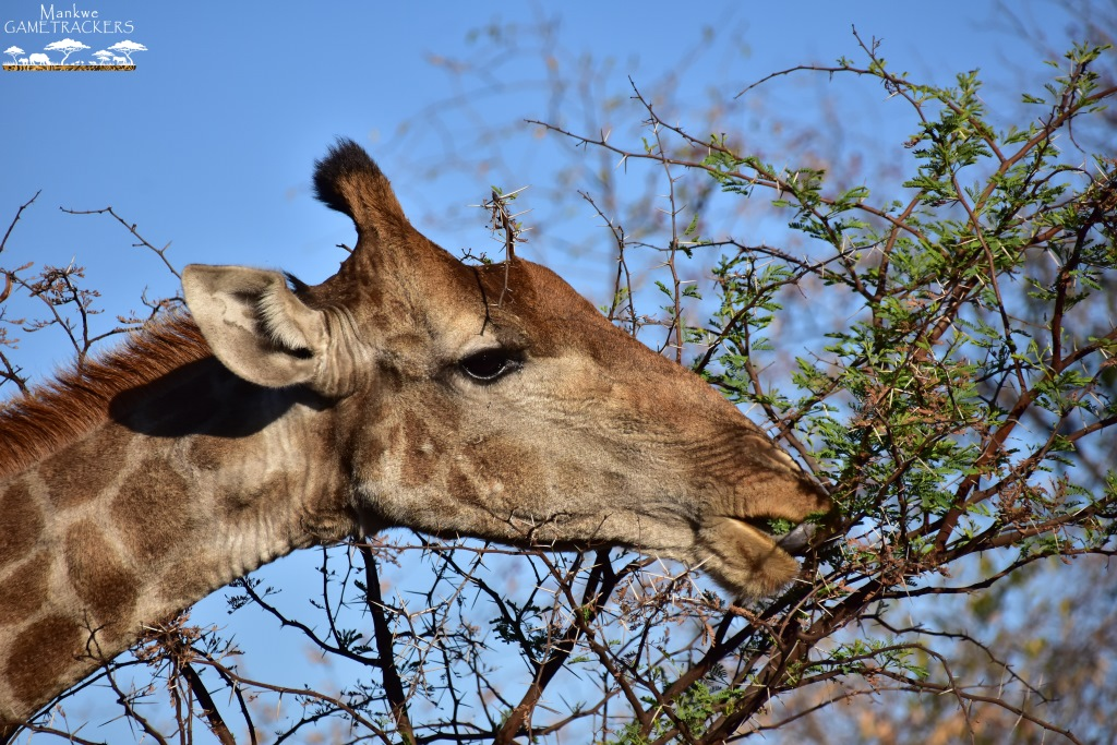 Game-drivesSafaris-South-Africa-Mankwe-Gametrackers-_Pilanesberg-National-Park-North-West-South-Africa-21