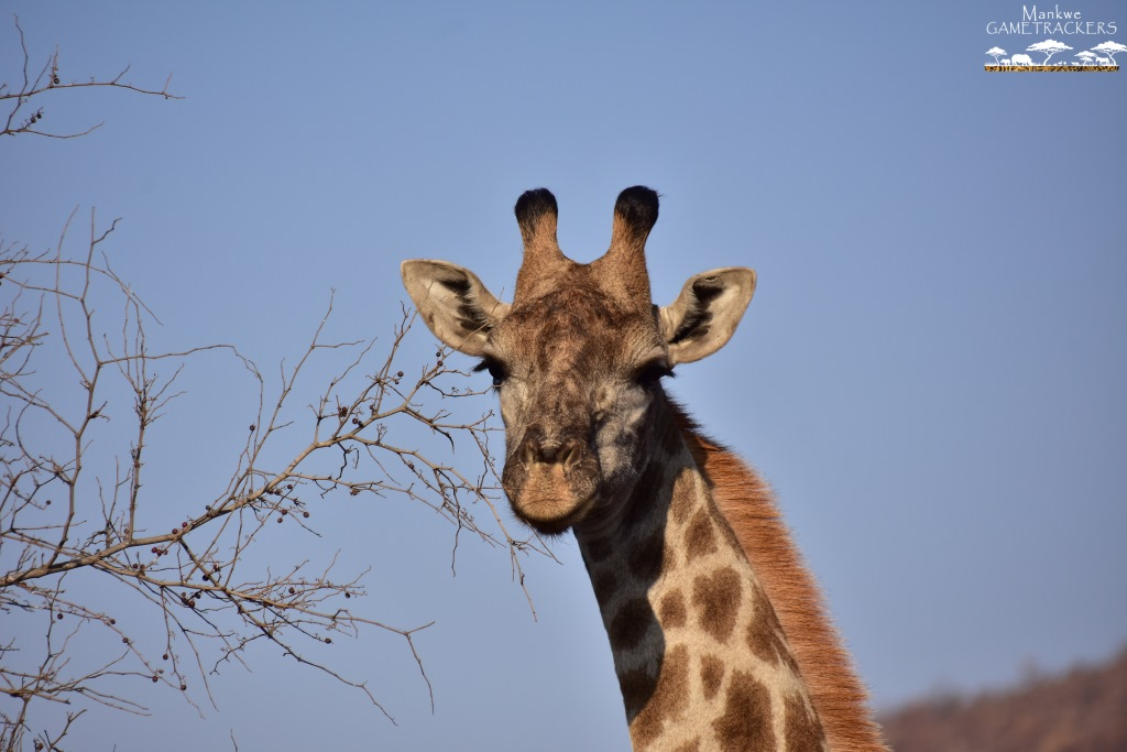 Game-drivesSafaris-South-Africa-Mankwe-Gametrackers-_Pilanesberg-National-Park-North-West-South-Africa-8