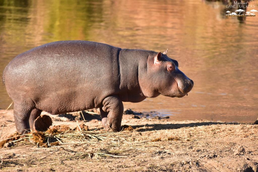 Mankwe GAMETRACKERS - Little Hippo