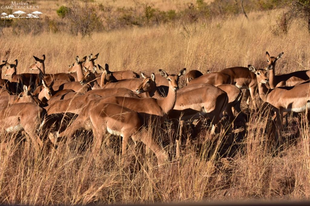 Mankwe GAMETRACKERS - Impala in the field