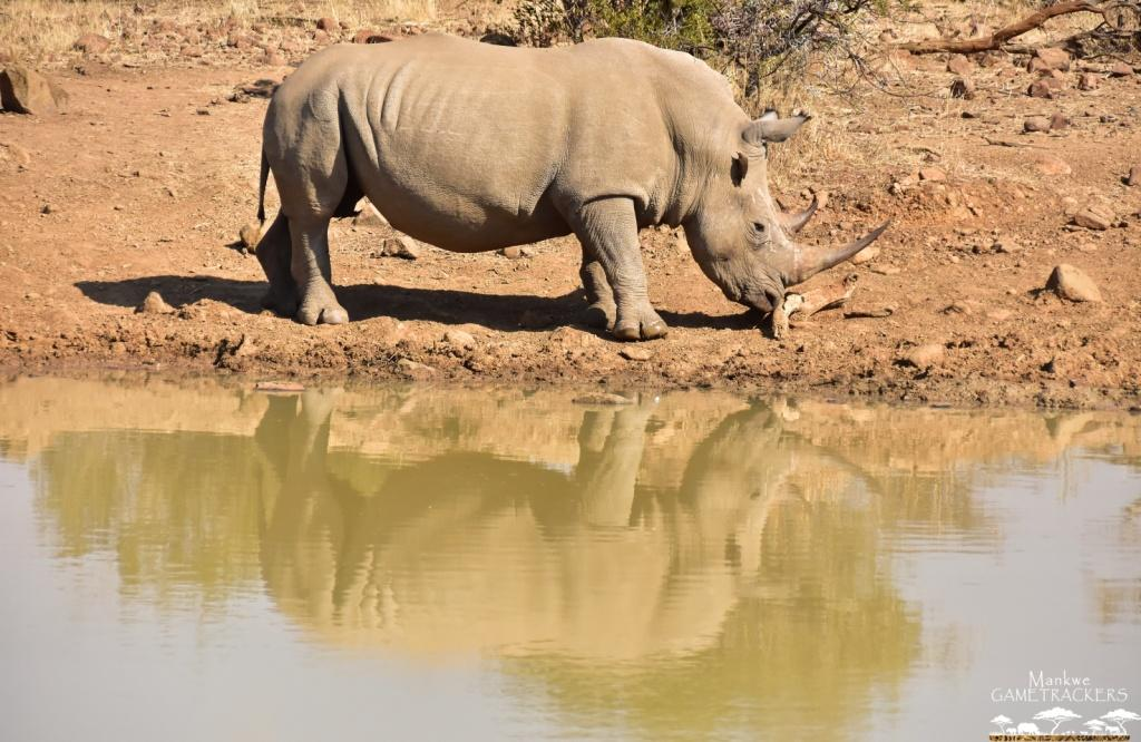 Mankwe GAMETRACKERS - Rhino by the waterhole