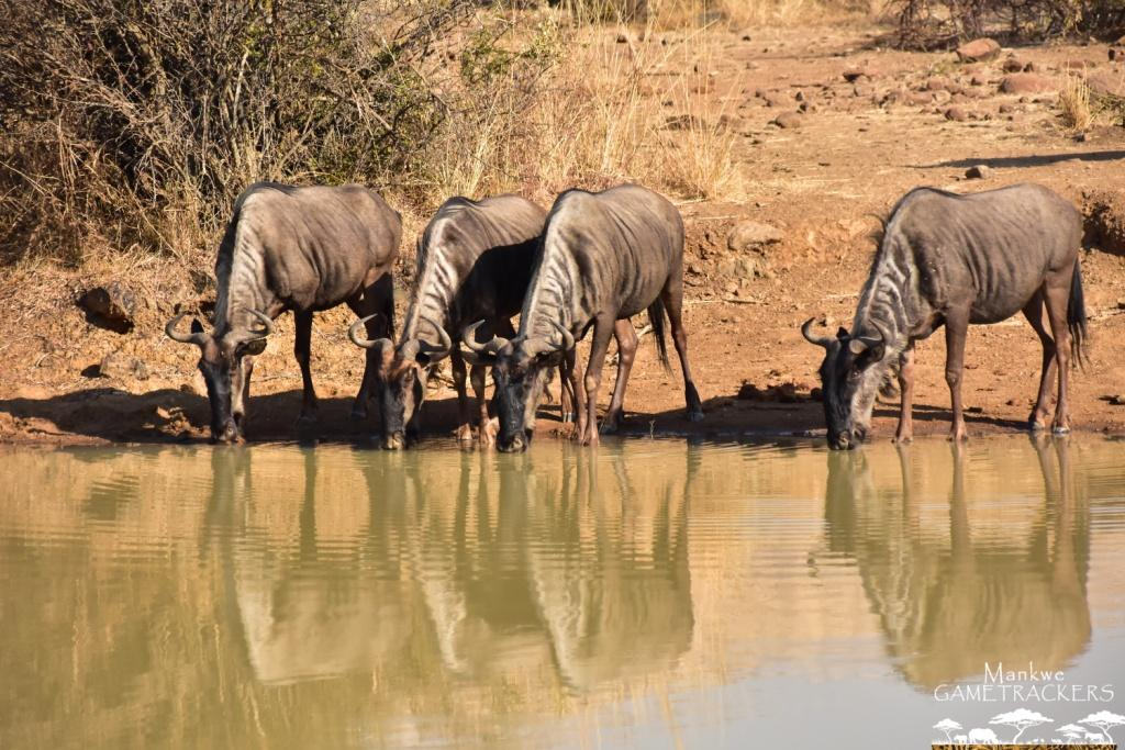 Mankwe GAMETRACKERS - Wildebeest by the waterhole