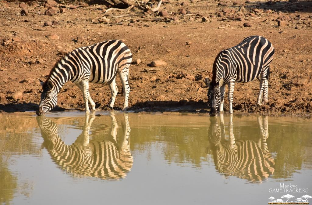 Mankwe GAMETRACKERS - Zebra by the waterhole