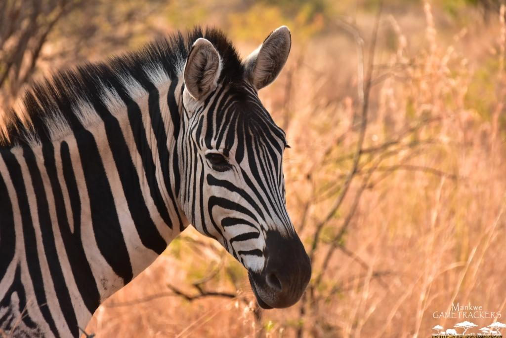 Mankwe GAMETRACKERS - Zebra