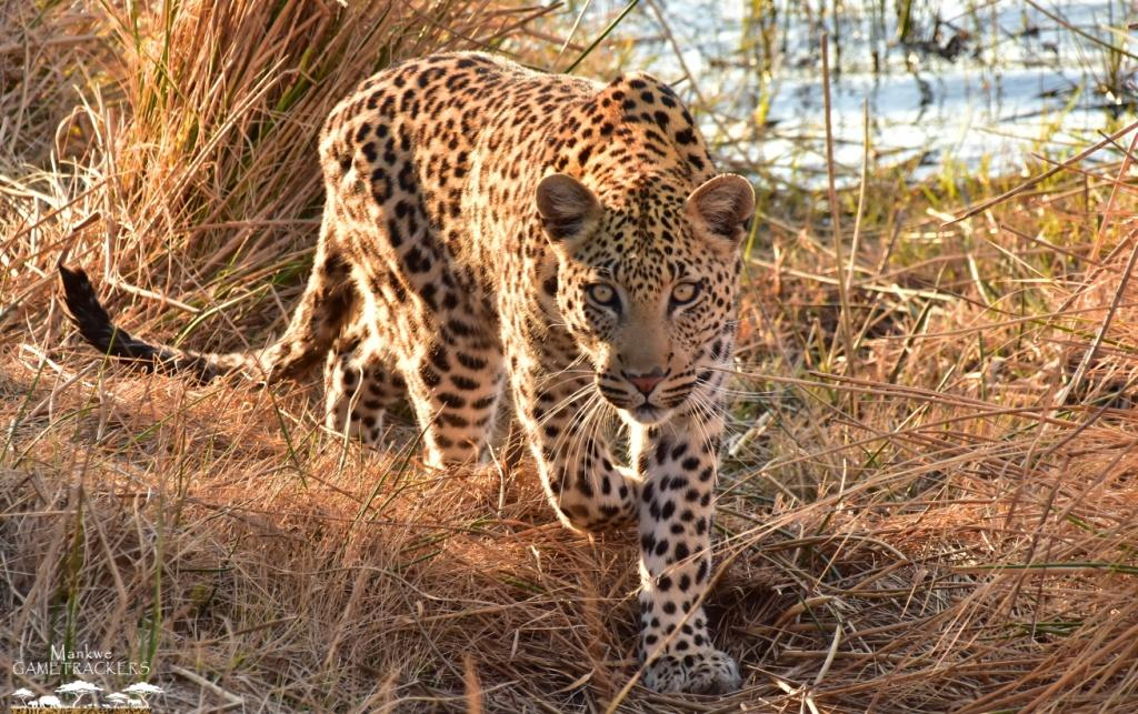 What a sighting! Two male Leopards Fight Over Warthog While it Escapes