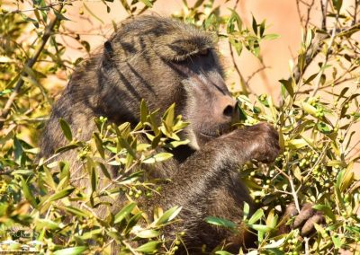 Mankwe GAMETRACKERS - Baboon eating seeds