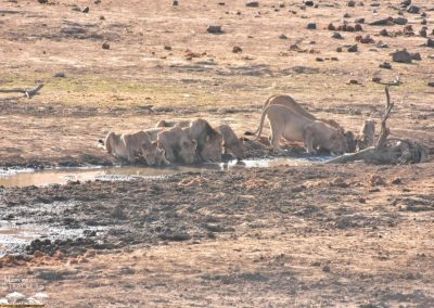 Mankwe GAMETRACKERS - Pride of lions at a waterhole