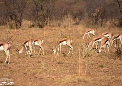 Mankwe GAMETRACKERS - Herd of Spring buck