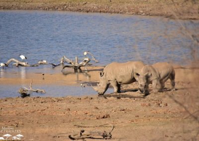 Mankwe GAMETRACKERS - Rhinos at a waterhole