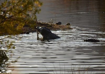Mankwe GAMETRACKERS - Crocodile eating an Impala