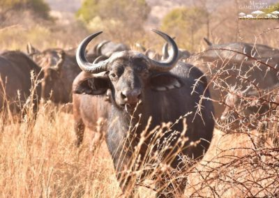 Mankwe GAMETRACKERS - Herd of Buffalo