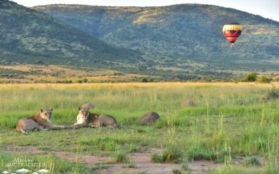 Hot air ballooning with lions